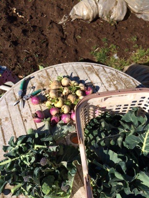 芽キャベツ ブロッコリーの脇芽 蕪 菜の花 葉物の収穫_c0222448_11574501.jpg