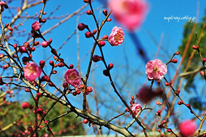 大分市/護国神社/春の訪れ_f0234062_2371529.jpg