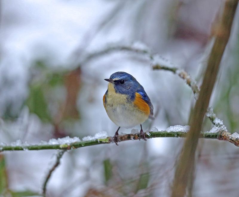 降りしきる雪のなかで「ルリビタキ♂」_d0195897_1357327.jpg