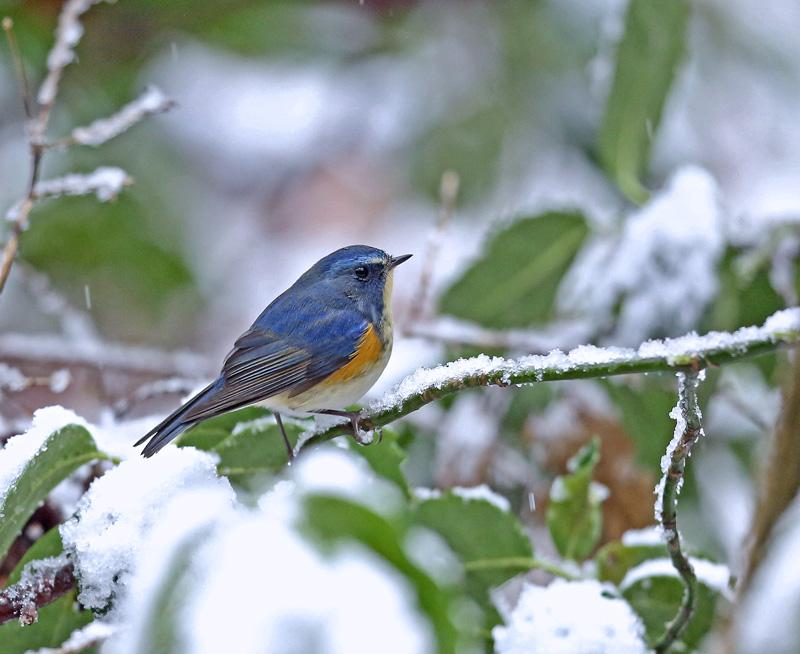 降りしきる雪のなかで「ルリビタキ♂」_d0195897_135734.jpg