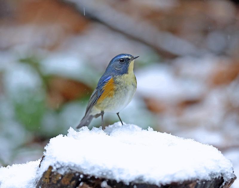 降りしきる雪のなかで「ルリビタキ♂」_d0195897_13575996.jpg