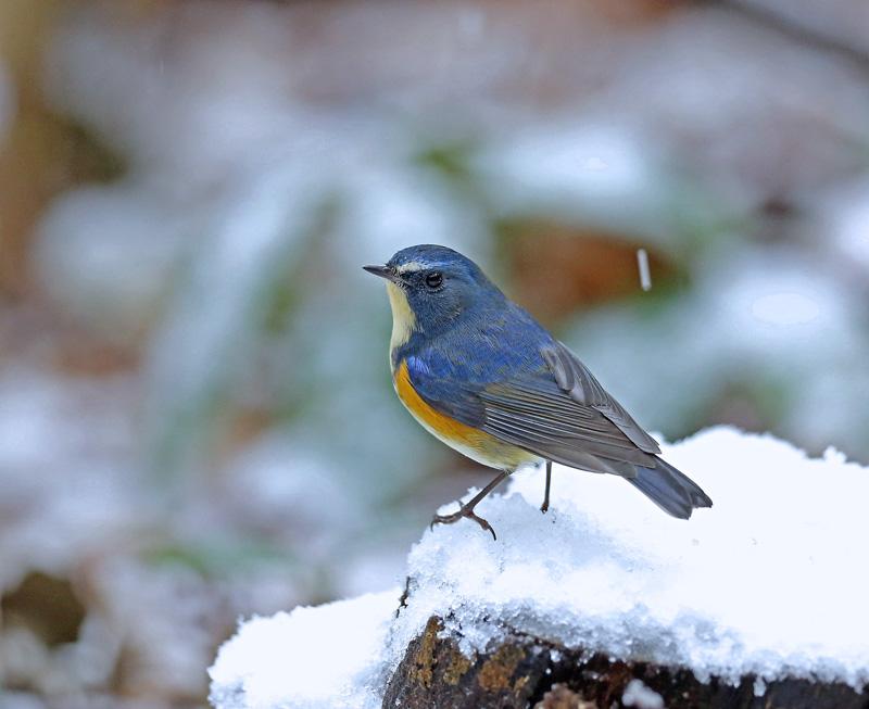 降りしきる雪のなかで「ルリビタキ♂」_d0195897_13581844.jpg