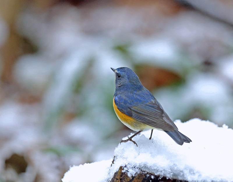 降りしきる雪のなかで「ルリビタキ♂」_d0195897_13583630.jpg