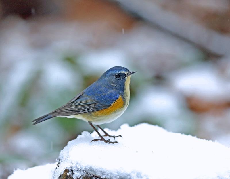 降りしきる雪のなかで「ルリビタキ♂」_d0195897_13584916.jpg