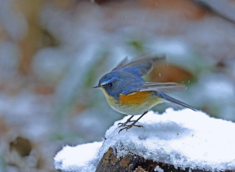 降りしきる雪のなかで「ルリビタキ♂」_d0195897_1415394.jpg