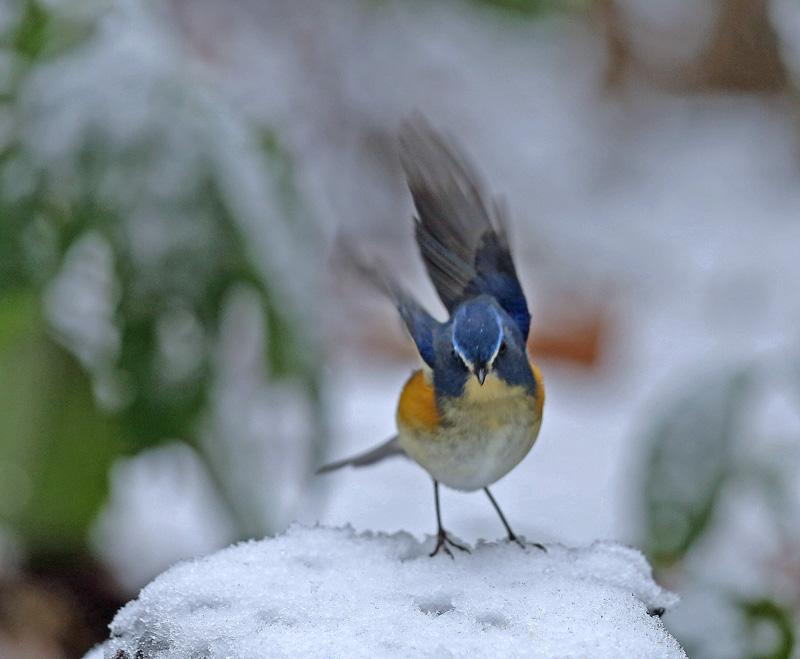 降りしきる雪のなかで「ルリビタキ♂」_d0195897_14182795.jpg