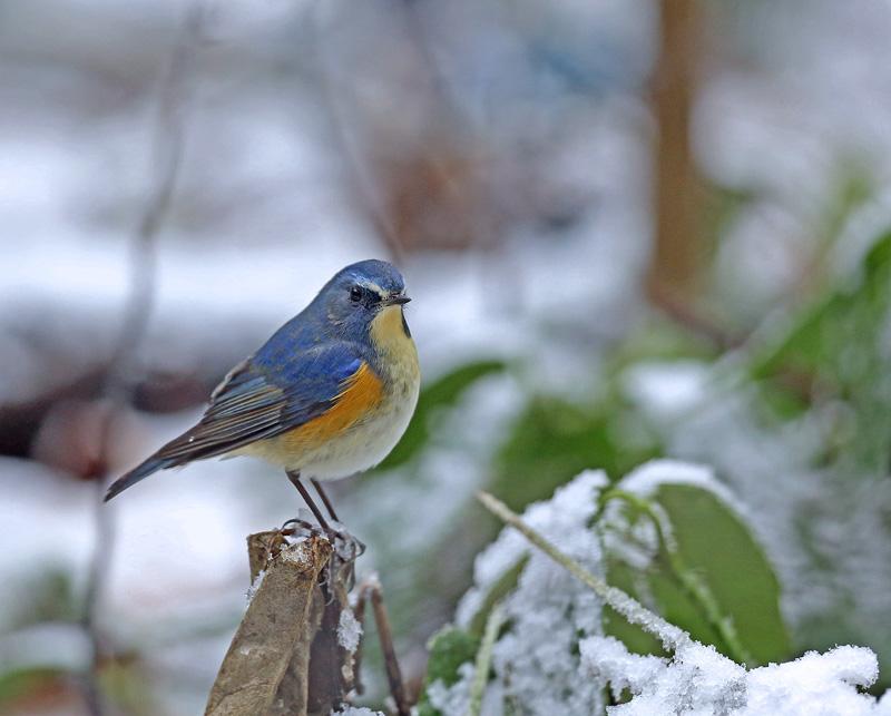 降りしきる雪のなかで「ルリビタキ♂」_d0195897_1431740.jpg