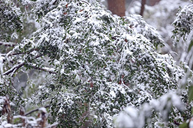 降りしきる雪のなかで「ルリビタキ♂」_d0195897_1445873.jpg
