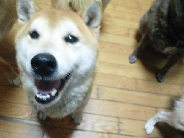 子犬と柴犬_f0242002_053449.jpg