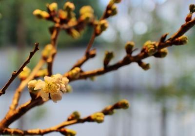 花だより 立春、桜がほころびました_a0279848_14564529.jpg