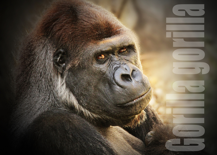 ニシゴリラ:Gorilla gorilla_b0249597_51307.jpg