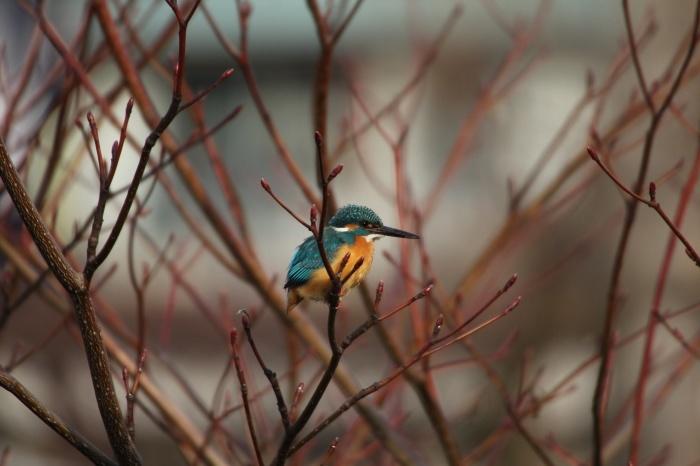 2015.2.4 近場をあちこち探鳥しました・近場の公園・ベニマシコ、カワセミ、ジョウビタキ(I made bird-watching in some parks near the house)_c0269342_09515301.jpg