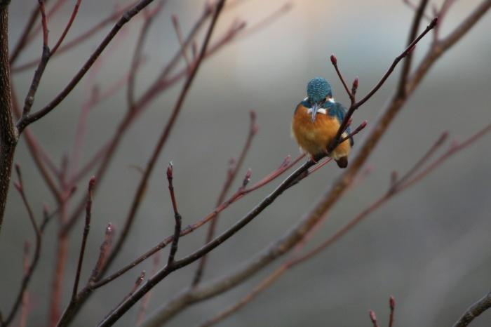2015.2.4 近場をあちこち探鳥しました・近場の公園・ベニマシコ、カワセミ、ジョウビタキ(I made bird-watching in some parks near the house)_c0269342_10045552.jpg
