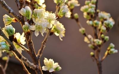 花だより 木蓮と、桜の続報_a0279848_18000034.jpg