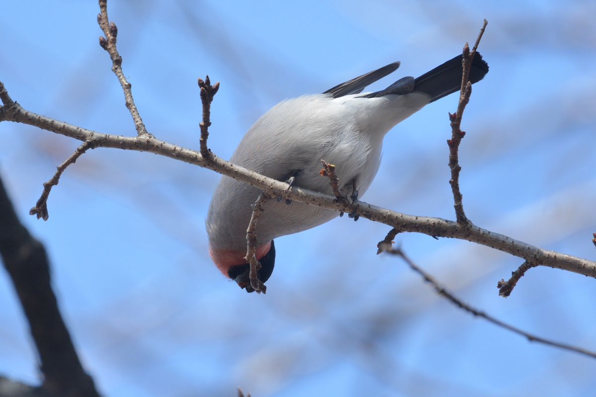 桜の木にウソ_f0053272_910733.jpg