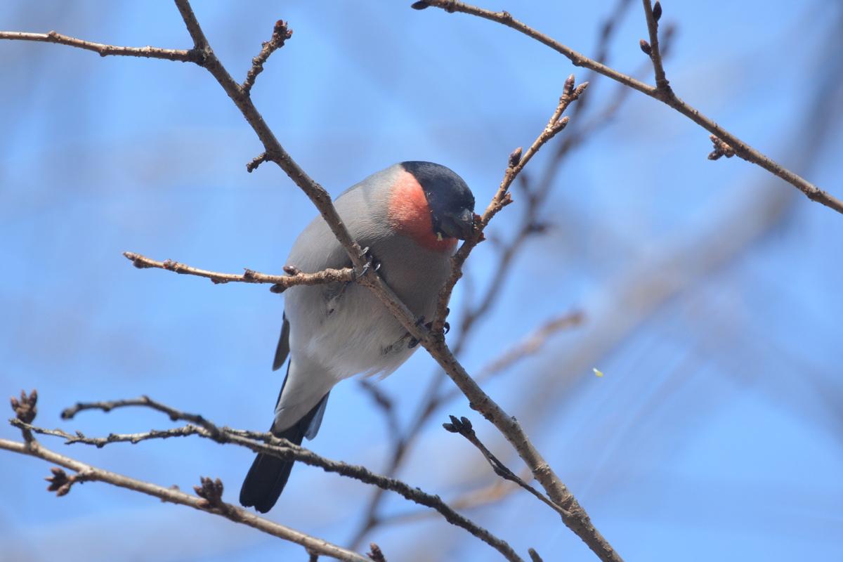 桜の木にウソ_f0053272_965140.jpg