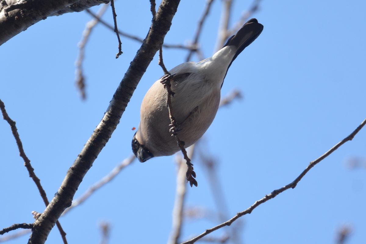 桜の木にウソ_f0053272_982320.jpg