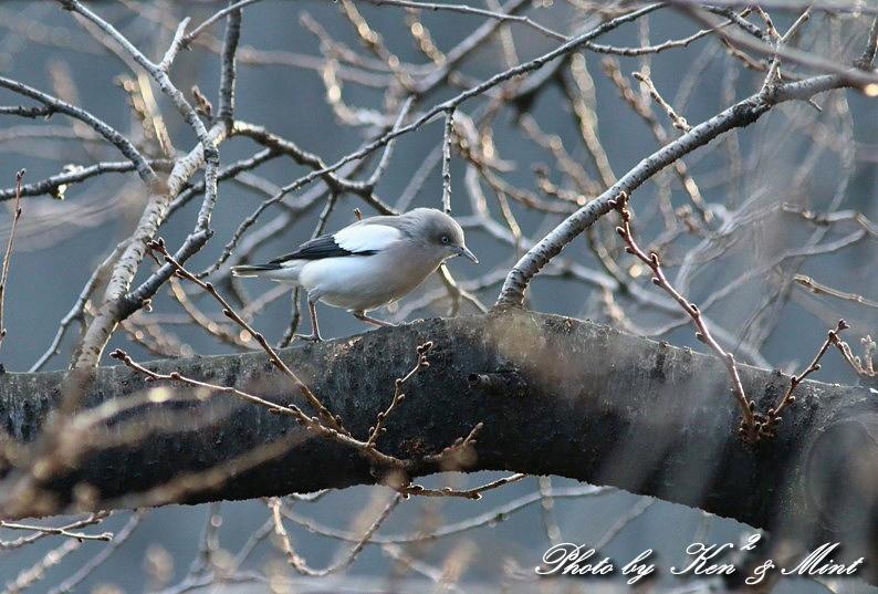 珍鳥 「カラムクドリ」 さん 続き♪_e0218518_22522677.jpg