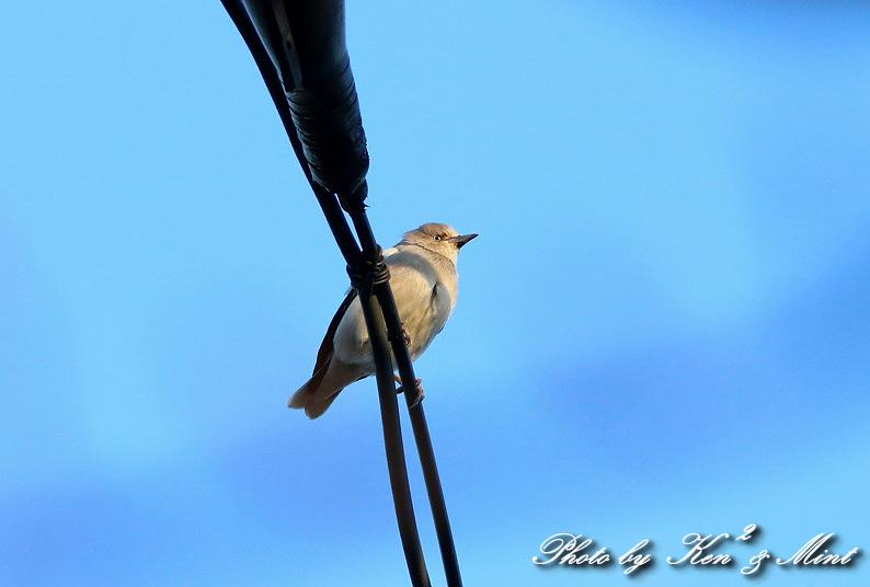 珍鳥 「カラムクドリ」 さん 続き♪_e0218518_22534842.jpg