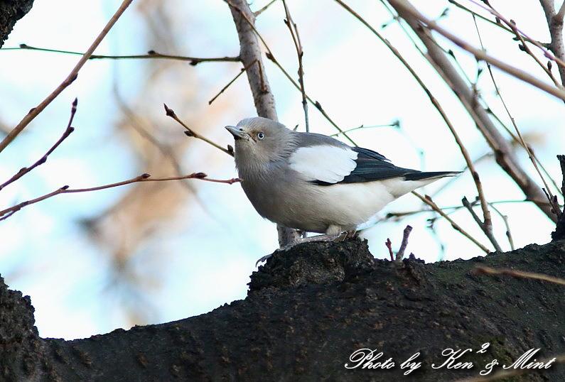 珍鳥 「カラムクドリ」 さん 続き♪_e0218518_2253771.jpg