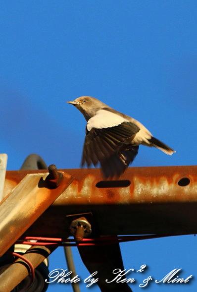 珍鳥 「カラムクドリ」 さん 続き♪_e0218518_2254692.jpg