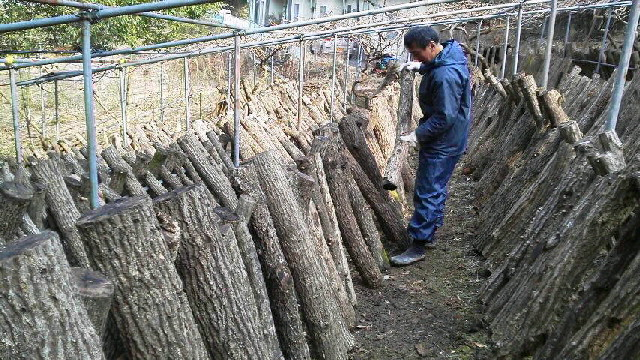 今日は 椎茸畑でした。三代目は このところ 椎茸畑です。_c0089831_22503959.jpg