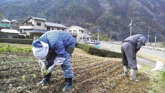 昨日は ネギの苗を 畑に移しました。_c0089831_94757.jpg