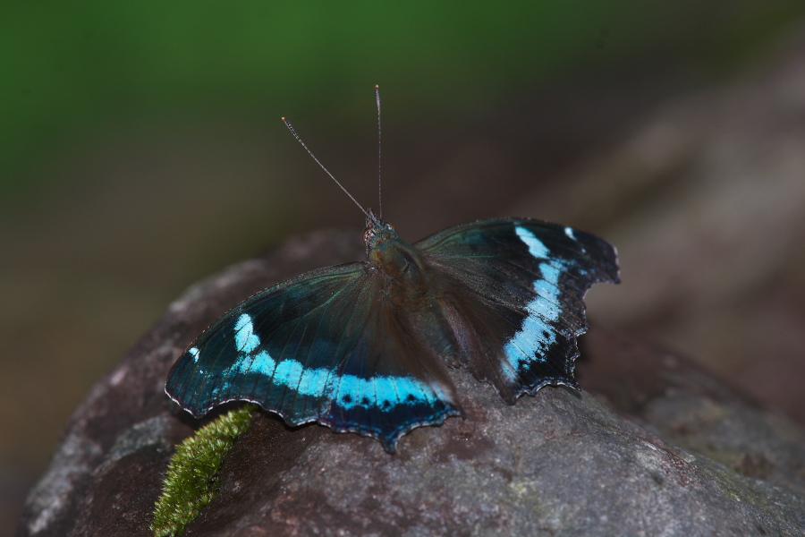 台湾宜蘭縣遠征記(11)タテハチョウ亜科およびテングチョウ : 探蝶 ...