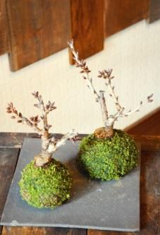 春を楽しむ盆栽ワークショップご案内_d0263815_15494265.jpg