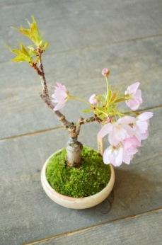 春を楽しむ盆栽ワークショップご案内_d0263815_15563165.jpg