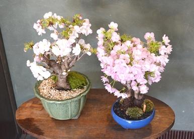 春を楽しむ盆栽ワークショップご案内_d0263815_15564365.jpg
