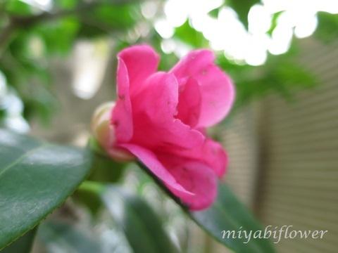 椿の花を食べたのだあれ?_b0255144_11372856.jpg