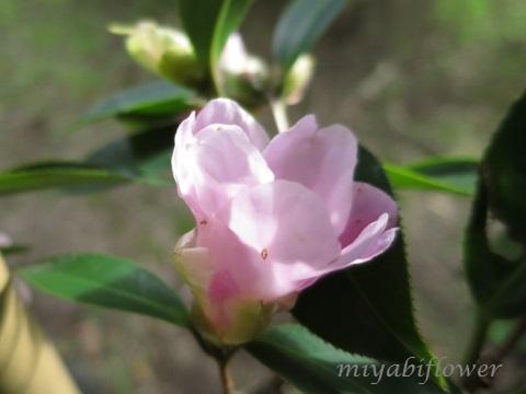 椿の花を食べたのだあれ?_b0255144_11381254.jpg