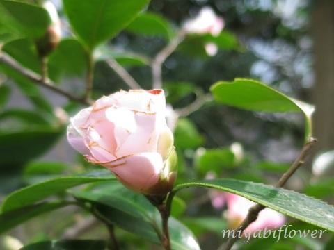 椿の花を食べたのだあれ?_b0255144_11382666.jpg