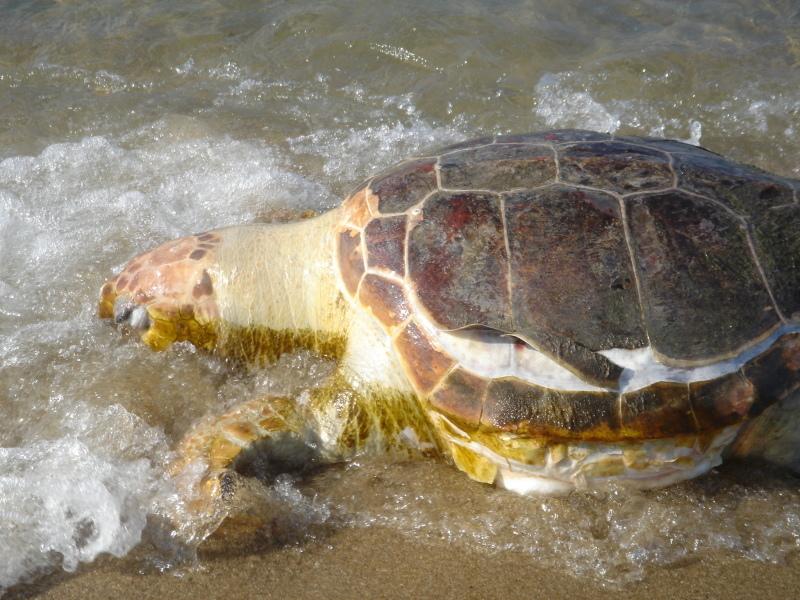 トピックス『せんなん里海公園ピチピチビーチにウミガメ漂着』_c0108460_21212117.jpg
