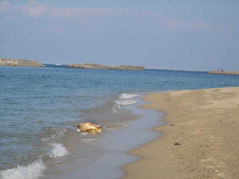 トピックス『せんなん里海公園ピチピチビーチにウミガメ漂着』_c0108460_21212233.jpg