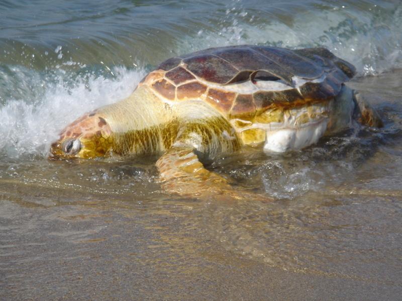 トピックス『せんなん里海公園ピチピチビーチにウミガメ漂着』_c0108460_21212236.jpg