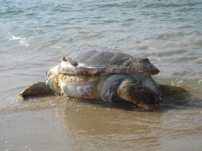 トピックス『せんなん里海公園ピチピチビーチにウミガメ漂着』_c0108460_21212313.jpg