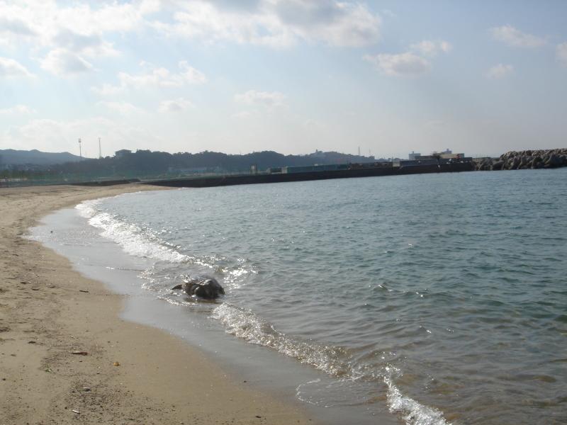 トピックス『せんなん里海公園ピチピチビーチにウミガメ漂着』_c0108460_21212342.jpg