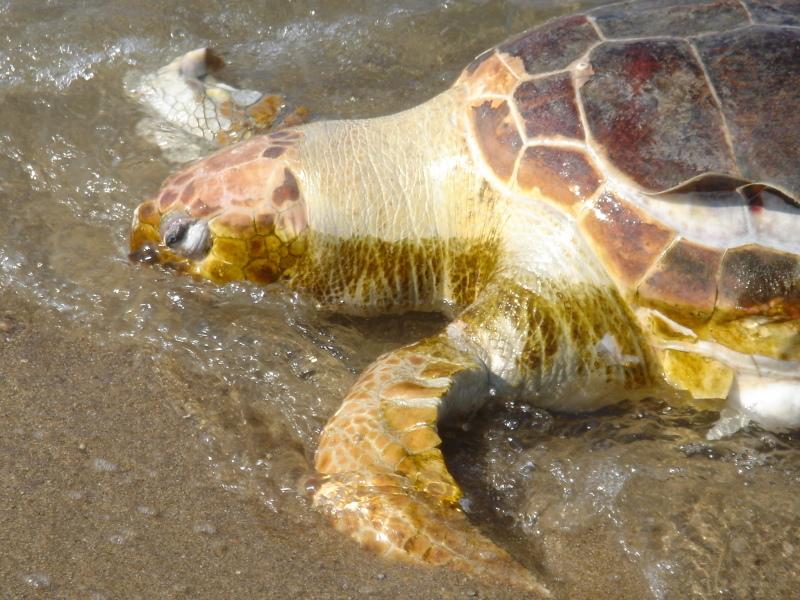 トピックス『せんなん里海公園ピチピチビーチにウミガメ漂着』_c0108460_21212401.jpg