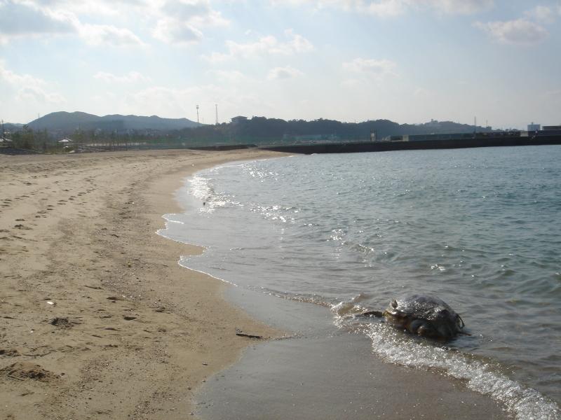 トピックス『せんなん里海公園ピチピチビーチにウミガメ漂着』_c0108460_21212404.jpg
