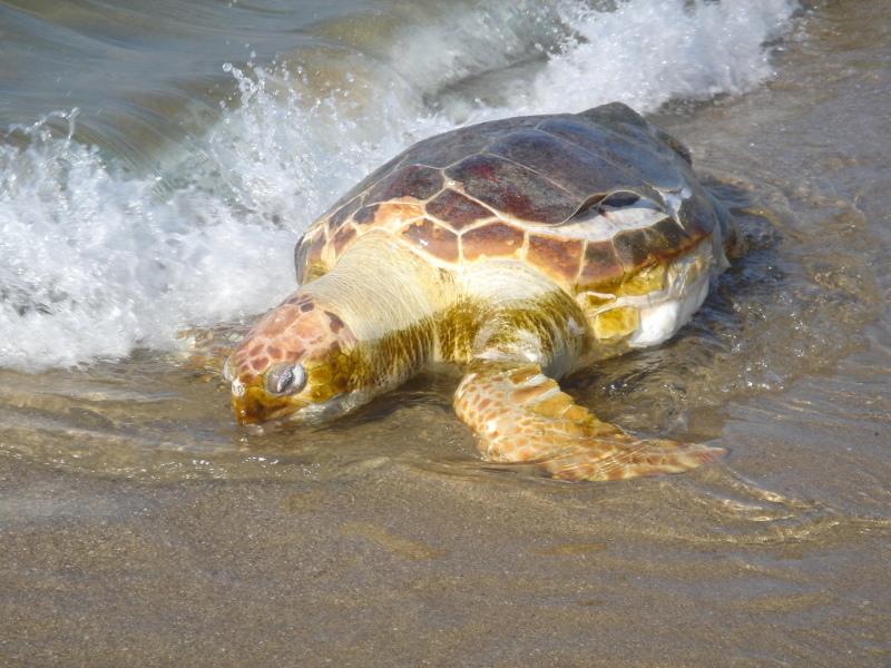 トピックス『せんなん里海公園ピチピチビーチにウミガメ漂着』_c0108460_21212574.jpg