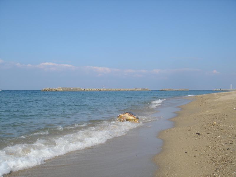 トピックス『せんなん里海公園ピチピチビーチにウミガメ漂着』_c0108460_21212587.jpg