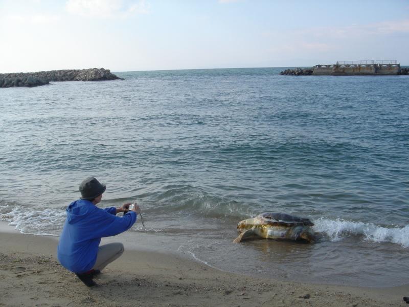 トピックス『せんなん里海公園ピチピチビーチにウミガメ漂着』_c0108460_21242503.jpg