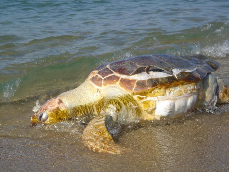 トピックス『せんなん里海公園ピチピチビーチにウミガメ漂着』_c0108460_21242550.jpg