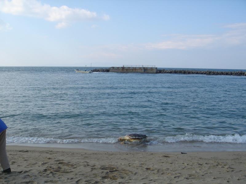 トピックス『せんなん里海公園ピチピチビーチにウミガメ漂着』_c0108460_21242601.jpg