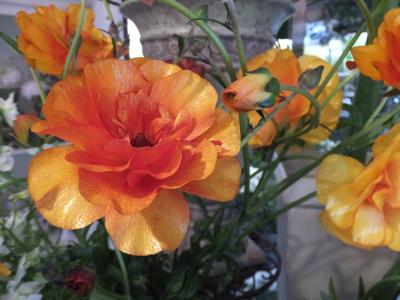 オークリーフ(キンポウゲ科の花)_f0049672_15502386.jpg