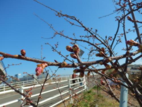 春到来?...河津桜が開花開始!_b0137932_1813345.jpg