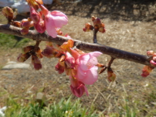春到来?...河津桜が開花開始!_b0137932_18141965.jpg