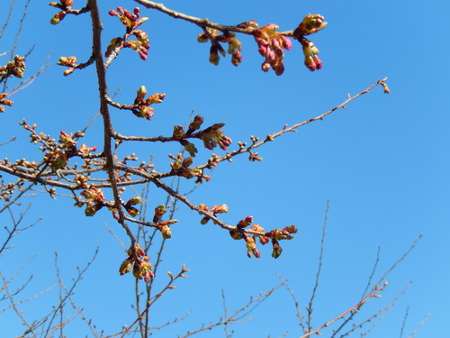 春到来?...河津桜が開花開始!_b0137932_18163554.jpg